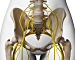 Основным нервом крестцового сплетения является. Крестцовое сплетение: анатомия, строение и функции. Горло и солнечное сплетение