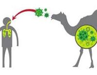 коронавируса ближневосточного респираторного синдром